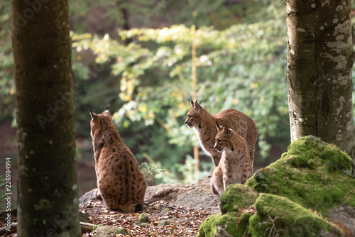 Foto auf Leinwand Luchs Lynx on the rock in Bayerischer Wald National Park, Germany
