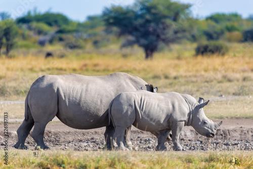 Poster Afrique baby of white rhinoceros Botswana, Africa