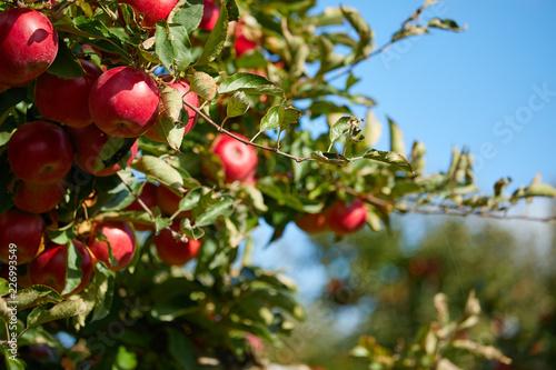 Fotografía  fresh red apples on a tree