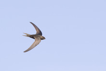 An Adult Common Swift (Apus Apus) Taking Off To The Sky In High Speed. With In The Background Blue Sky.