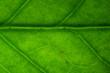 Leaf vine of Zamioculcas