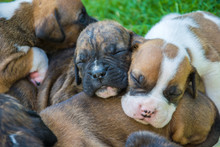 Sleeping Sweet Boxer Puppies