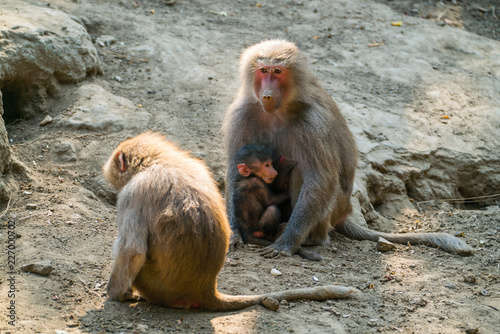 monkey on the mountain. the nyiregyhaza zoo