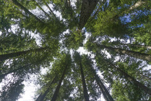 Forest Trees From Below Looking Up To Canopy