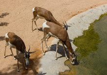 Young Deers Drinking From The River In The Zoo