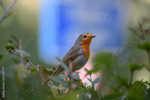 Photo  Robin (redbreast) close up with blue traffic sign in the background