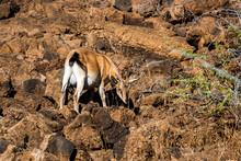 Hawaiian Feral Goat On Rocks