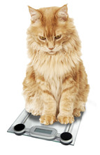 Red Cat Maine Coon Weighed On A White Background