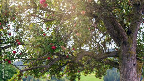 Alter Apfelbaum auf einer Streuobstwiese im Spätherbst
