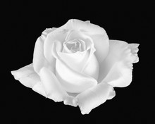 Fine Art Still Life Monochrome Black And White Flower Macro Portrait Photo Of A Wide Open Rose Blossom With Detailed Texture On Black Background  In Vintage Painting Style