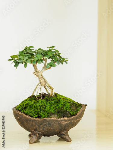 In de dag Bonsai Bonsai in a pot for decoration