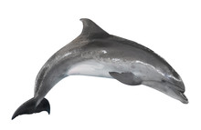 Grey Bottlenose Dolphin Isolat...