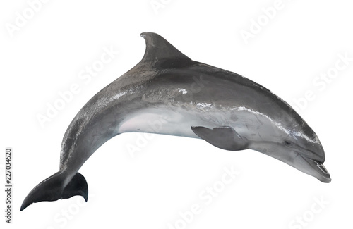 Foto auf AluDibond Delphin grey bottlenose dolphin isolated on white