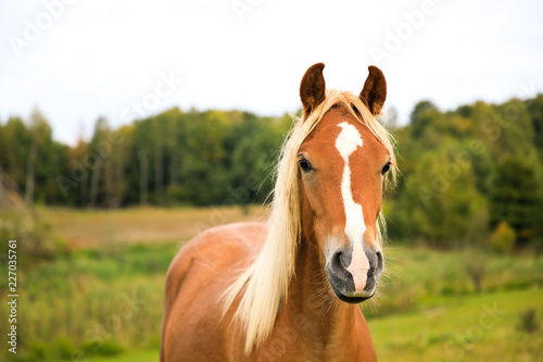 Foto  Portrait of the red foal on the meadow
