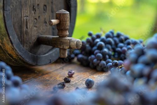 Fototapeta Wine barrel with blue Cabernet Franc grapes in harvest season, Hungary