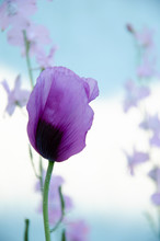 Lilac Poppy Flower In Early Su...