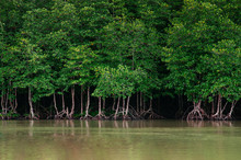 Big Magle Tree In Thailand Tropical Mangrove Swamp Forest Lush Evergreen River Landscape