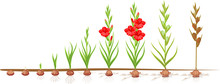 Life Cycle Of Gladiolus Plant....
