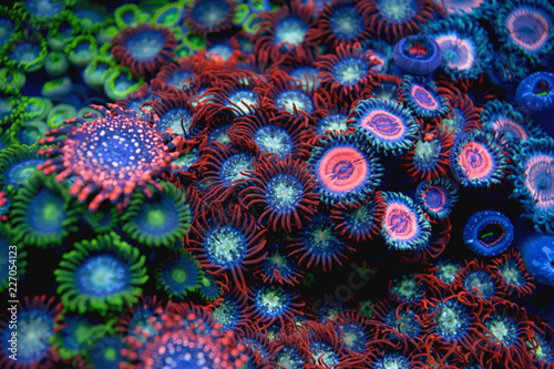 blur colorful Zoanthid corals