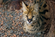 Serval In The Zoo, Sleepy Wild...