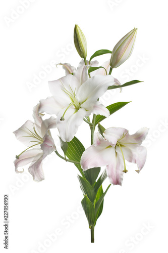 A branch of gently pink lilies isolated on a white background.