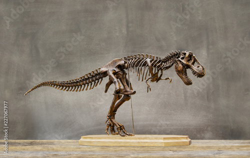 Fossil skeleton of Dinosaur king Tyrannosaurus Rex   t-rex   on wooden base and blackboard background.