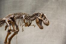 Fossil Skeleton Of Dinosaur Ki...