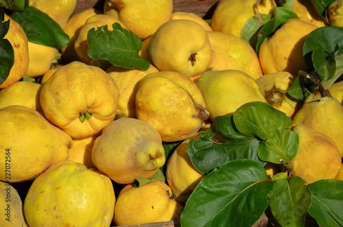 Photographie Quinces harvest Cydonia oblonga