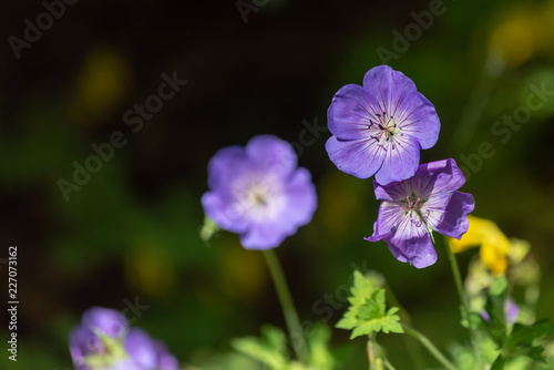Foto op Canvas Bloemen Color outdoor floral image of a wide open violet blue blooming female and male geranium / cranesbill flower on natural blurred background taken on a sunny summer day