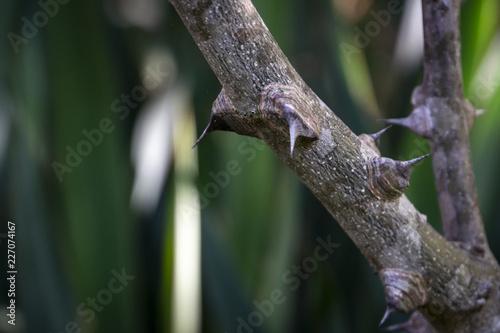Photo Spiny Tree Trunk of Zanthoxylum americanum, Prickly ash