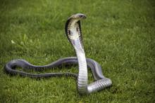 Snake Siamese Cobra ( Naja Kaouthia ) On The Green Grass.