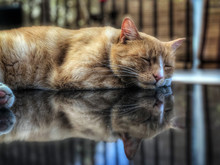 Domestic Ginger Tom Cat Asleep With Reflection On Glass Table