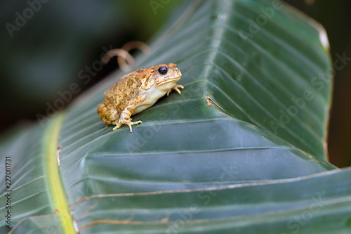 Photo The african common toad or guttural toad (Amietophrynus gutturalis) sitting on the banan leaf