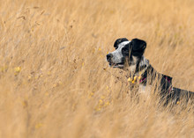 Blue Heeler In Golden Field