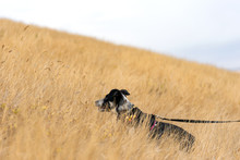 Blue Heeler In Golden Field