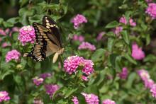 Giant Swallowtail Butterfly Closeup On Pink Lantana