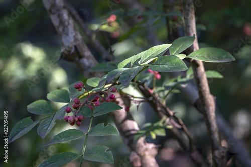 Fotografie, Obraz  Spiny Tree Trunk of Zanthoxylum americanum, Prickly ash