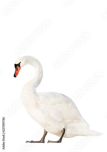 Keuken foto achterwand Zwaan white swan isolated on white background