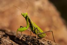Green Praying Mantis Close Up On Rocky Background