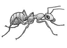 Ant Illustration, Drawing, Eng...