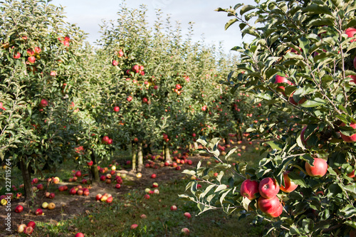 Row of apple trees with ripe red and yellow apples  in an orchard - branch with a cluster of apples in foreground