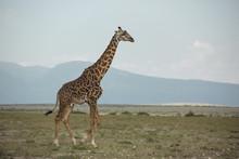 Side View Of Giraffe Walking On Grassy Field Against Sky At Maasai Mara National Reserve