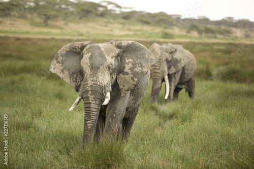 Elephants walking on grassy field at Maasai Mara National Reserve