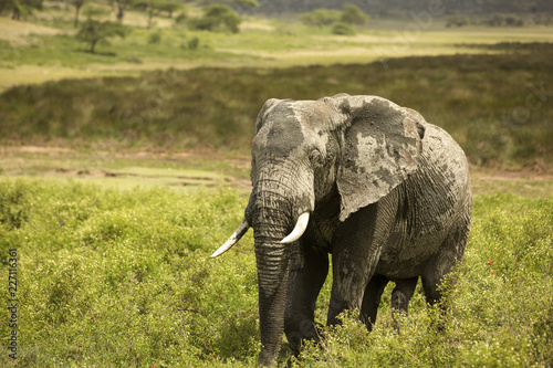 Elephant walking on grassy field at Maasai Mara National Reserve