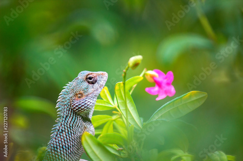 The Garden Lizard sitting on the flower plant on a beautiful spring morning in its natural habitat.