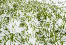 Seedlings Of Winter Crops