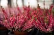 canvas print picture - Heidepflanzen