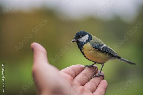 Fototapeta premium Sikora siedząca na wyciągniętej dłoni
