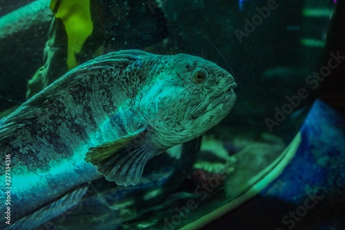 Striped catfish in an aquarium