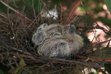 Turtledove Chicks In Nest